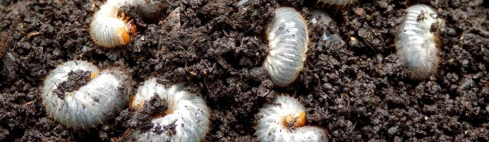 Comprehensive lawn grub control to keep the grub worm issue under control