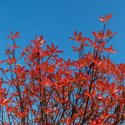 Black Gum leaves turn bright red in the fall season.