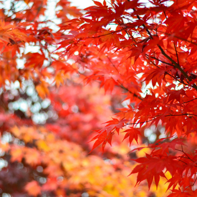 The beautiful sight of the fall colors of a Red Maple in fall.
