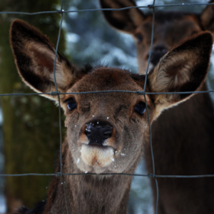 A good, strong fence is the last line of defense for deer control