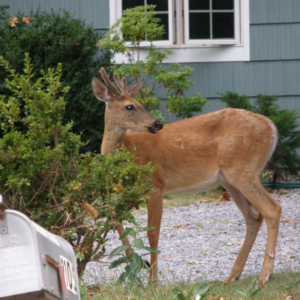 Deer control could protect your trees and shrubs from these hungry guys throughout the winter.