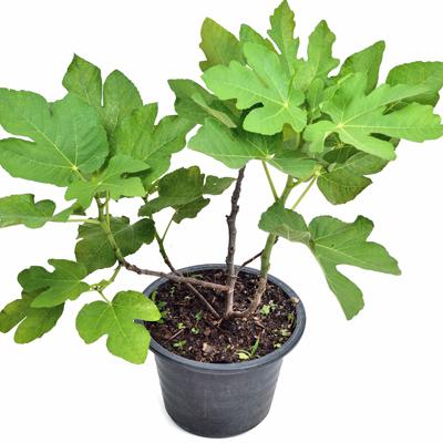 gardening, fig tree