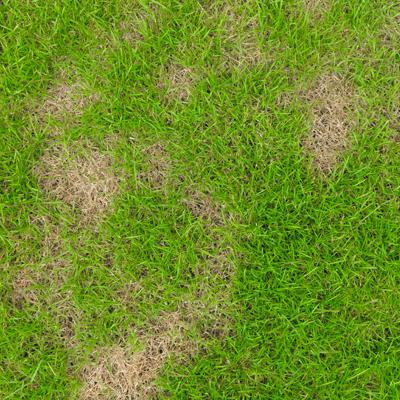 lawn disease in MA