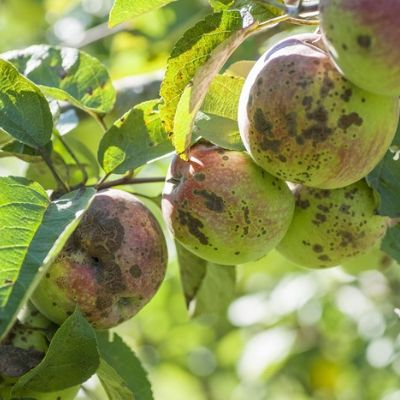 Apple scab is one of the most common fruit tree diseases in Andover, MA.