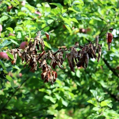 Fire blight is a common and devastating fruit tree disease here in Andover, MA.