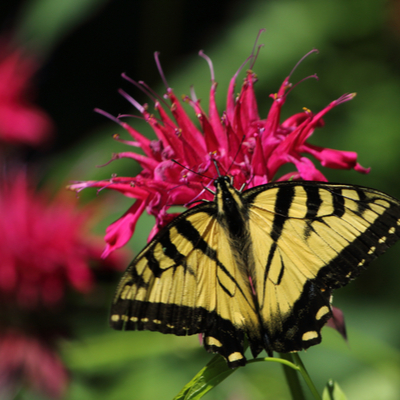 Bee balm is an excellent source of nectar and a great flower to add to your Massachusetts garden to attract butterflies.