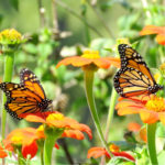 Attract butterflies to your Massachusetts garden with our butterfly guide.