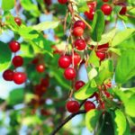 Chokecherry is one of the most poisonous berries in Andover, MA, don't eat them!