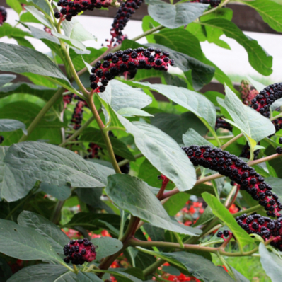 Pokeweed is one of the most poisonous berries here in Andover, MA.