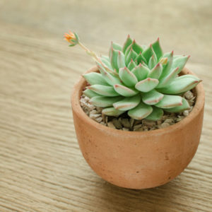 Echeveria is one of the best indoor succulents to add to your Nashua, NH home.