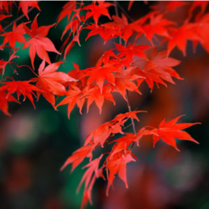 The Japanese maple is one of the most beautiful maple trees to grow in your Nashua, NH yard.