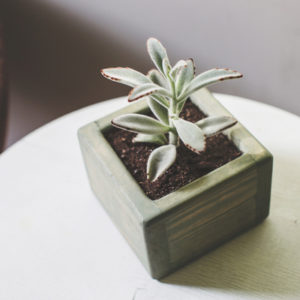 A panda plant is one of the best indoor succulents to add to your Merrimack, NH home.
