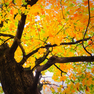 The sugar maple puts on one of the most beautiful shows with its fall colors, making it one of the best maple trees to plant in your Manchester, NH yard.