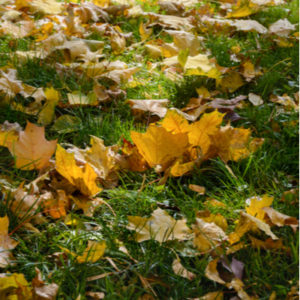 Fall lawn preparation includes removing leaf litter from your Westford, MA lawn.
