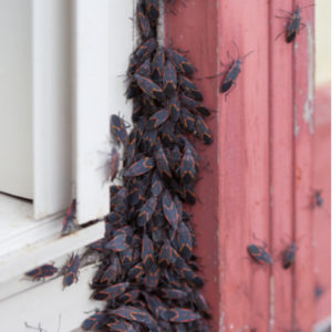 Fall lawn preparation includes fall pest control to keep bugs, like these box elder beetles, from getting in your Westford, MA home.