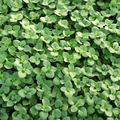 Spring lawn care helps reduce the likelihood of an infestation of chickweed this spring in Massachusetts.